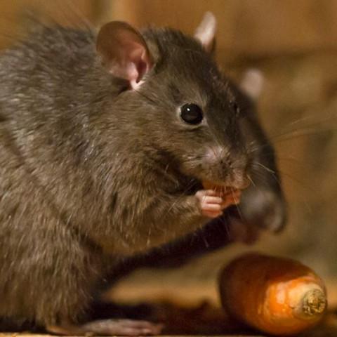 Дератизация (плъхове и мишки)