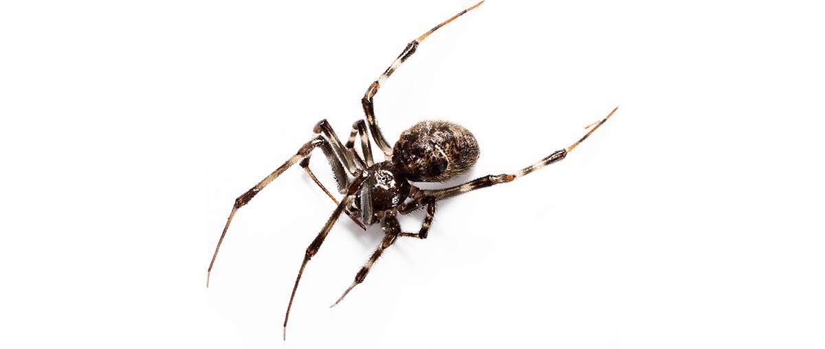 House-Spider_1200h600