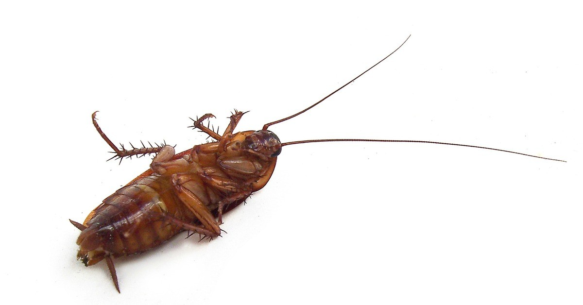 How-to-get-rid-of-cockroaches-naturally-from-HousewifeHowTos-FB