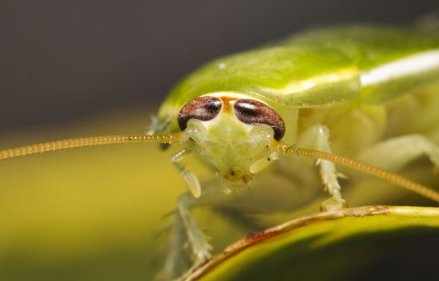 зелена хлебарка 2