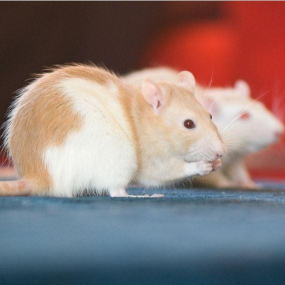 Унищожаване на плъхове и мишки – дератизация