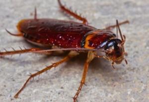 Хлебарка полезно