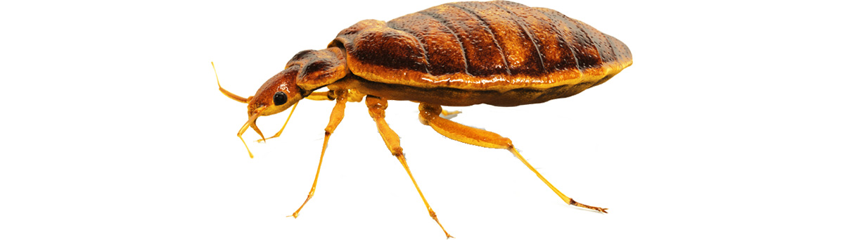 Bed-Bug_1200h600