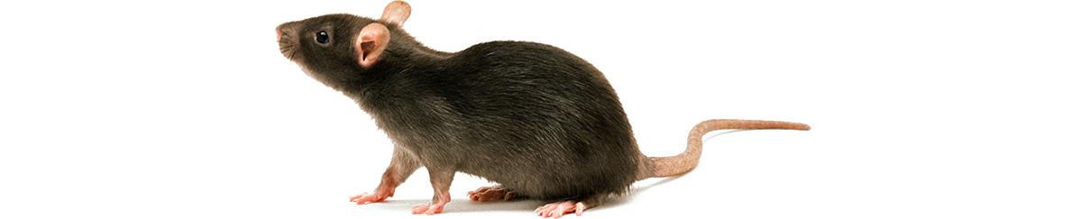rats_1200h600